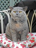 House cat pedigree on garden chaise Royalty Free Stock Photo