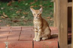 House cat. Portrait of a beautiful purebred house cat royalty free stock photos