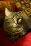 House Cat on Red Couch Royalty Free Stock Images