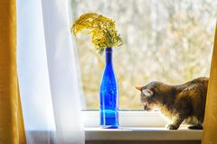 House Cat on the Window Sill. House Cat Sitting on the Window Sill Near Bouquet with Mimosa in a Blue Glass Bottle royalty free stock photos