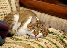 House cat on the sofa in the apartment. A ball lying on the bedspread ivory tri-colored striped suit with open eyes Royalty Free Stock Photo