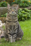 House cat (tiger). A nice house cat is sitting in the garden stock photo