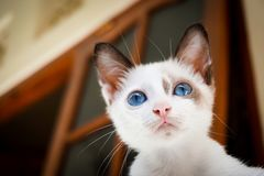 House, Cat, White, Blue, Eyes Royalty Free Stock Images
