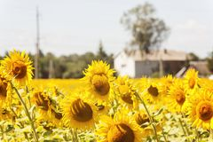 House in the center of the sunflowers field.summer landscape.  Royalty Free Stock Photography