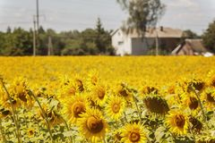 House in the center of the sunflowers field.summer landscape.  Royalty Free Stock Image