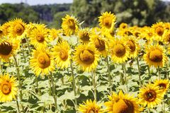 House in the center of the sunflowers field.summer landscape Royalty Free Stock Image