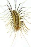 House centipede (Scutigera coleoptrata) Stock Image