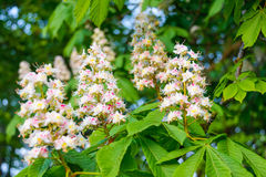 House chestnut tree blossom Stock Photography