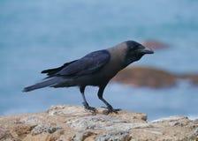 The house or Colombo crow (Corvus Splendens) Stock Photos