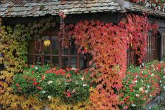 House in colorful leaves. Black and brown house in colorful leaves, green red and white flowers, orange and red maple leaves, restaurant in autumn colors stock photo