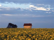 House in colza field Royalty Free Stock Image