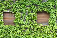 House covered with ivy. A house covered with ivy royalty free stock photography