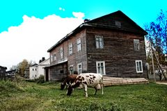 House and cows in provincial russian town royalty free stock photography