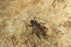 House cricket (Acheta domestica). Royalty Free Stock Photography