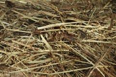 House cricket (Acheta domestica). Stock Images