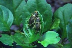 House cricket (Acheta domestica). Stock Photo