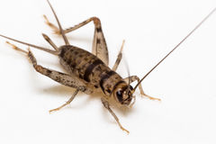 House Cricket - Acheta domesticus (Linnaeus) Royalty Free Stock Images