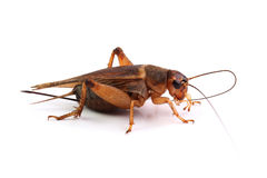 House cricket cleaning mustache on white Royalty Free Stock Photos