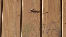 House cricket on the wooden doors. The cricket on the wooden door, the evening sun casts a shadow stock footage