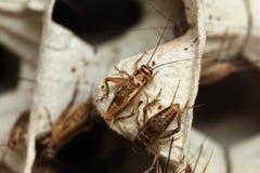 House cricket (Acheta domestica). Royalty Free Stock Image