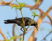 House crow (Corvus splendens) Royalty Free Stock Images