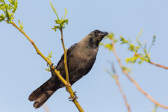 House crow (Corvus splendens) Stock Photo