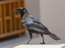 House crow (Corvus splendens) is on the green grass and invites Stock Photos