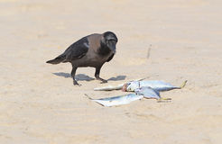 House crow on the sand with a fish in beak. Close up view Stock Photos