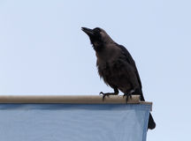 House crow Stock Photos