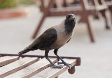 House crow. Sitting on table Stock Images