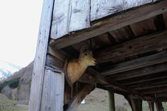 House with deer head. In Alps in Switzerland royalty free stock photography