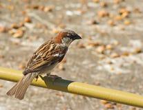 house den male sparrowen Royaltyfri Bild