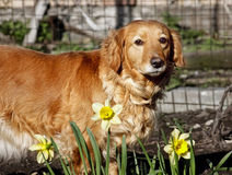 House Dog in spring flowers Royalty Free Stock Photos