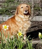 House Dog in spring flowers Stock Photography