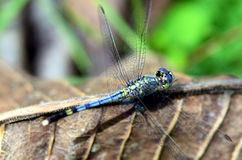 House Dragonfly. Royalty Free Stock Photography