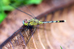 House Dragonfly. Stock Photo