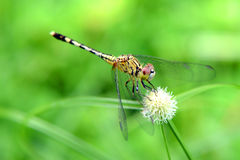 House Dragonfly. Stock Photography