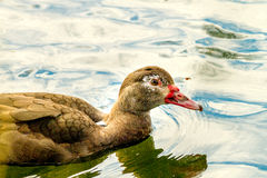 House duck of brown color floating on the river. Image house duck of brown color floating on the river Stock Photography