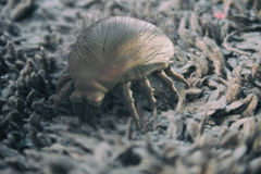 House dust mite - 3D Rendering Stock Photography