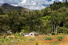 House on the edge of the jungle. Small whitewashed house in Cuba on the edge of the jungle with palm trees and arable land around it, indicative of a small farm royalty free stock photo