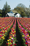 House at the end of a row of tulips Royalty Free Stock Photos
