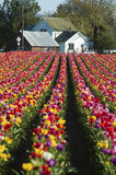 House at the end of a row of tulips Stock Photo