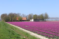 Farm between the tulip fields in the polder, Flevoland, Netherlands Stock Image