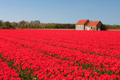 House and field of red tulips Royalty Free Stock Photos