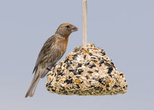 House Finch Royalty Free Stock Images