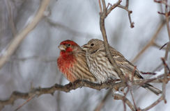 House Finch Stock Photo