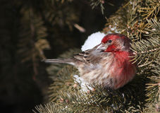 House Finch Royalty Free Stock Photos