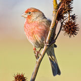 House Finch. Male House Finch perched on a tree branch Stock Photos
