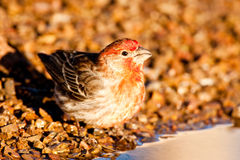House Finch Royalty Free Stock Photo