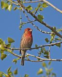 House Finch Stock Images